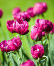 Bright tulips in the spring small depth of sharpness close up a sunny day Stock Photo