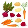Bright vector illustration of colorful turnips, beets, potato, carrots.