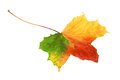 Bright vibrant tricolor autumn leaf beautiful in shades of red green and yellow showing the changing of the seasons isolated on a Stock Photos