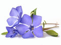 Bright violet wild periwinkle flower Royalty Free Stock Photo