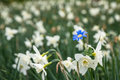 Bright white flowers with one blue being different, standing out Royalty Free Stock Photo