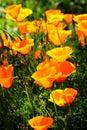 Bright Wild Poppies Royalty Free Stock Photo