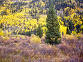 Bright yellow aspens Royalty Free Stock Images