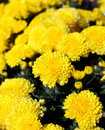 Bright yellow chrysanthemum flowers Royalty Free Stock Photos