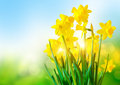Bright Yellow Daffodils Royalty Free Stock Photo