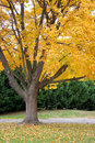 Bright yellow fall foliage Royalty Free Stock Photo