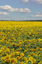 Bright yellow field of sunflowers and blue sky with clouds Royalty Free Stock Photo