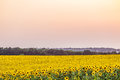 Bright yellow field of sunflowers in the diffused light of the evening dusk Royalty Free Stock Photo