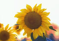 The bright yellow flower of a sunflower growing in field at suns Royalty Free Stock Photo