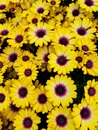 Bright yellow flowers of Blue Eyed Beauty African Daisy