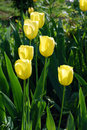 Bright yellow flowers Tulip Royalty Free Stock Photos