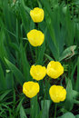 Bright yellow flowers Tulip Stock Photos