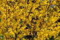 Bright yellow Forsythia bush on the spring sun against the black background of bygone winter Royalty Free Stock Photo