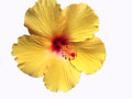 Bright Yellow Hawaiian Hibiscus Flower Royalty Free Stock Photo
