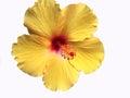 Bright Yellow Hawaiian Hibiscus Flower Royalty Free Stock Photo
