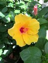 Bright yellow hibiscus flower Royalty Free Stock Photo