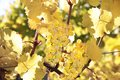 Bright yellow leaves in vineyard Royalty Free Stock Photo