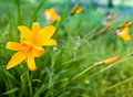 Bright yellow lily hemerocallis lilioasphodelus flowers in summer garden Royalty Free Stock Photos