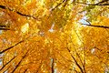 Bright yellow maple crown tops in autumn Royalty Free Stock Photo
