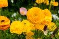 Bright yellow orange anemone flowers Royalty Free Stock Photo