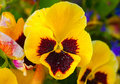 Bright Yellow Pansy with water drops Royalty Free Stock Photo