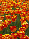 Bright yellow and red tulips show off their spring this garden full of shows in volumes perfect colors Stock Photos
