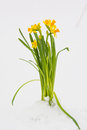 Bright yellow spring iris flowers growing in the snow outdoors on white snow background Royalty Free Stock Photo
