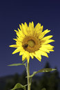 Bright yellow sunflower. Royalty Free Stock Photography