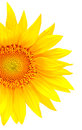 Bright yellow sunflower Royalty Free Stock Photo