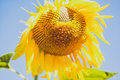 Bright yellow sunflower on blue sky background , colorful , colored Royalty Free Stock Photo