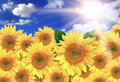 Bright Yellow Sunflowers on a Beautiful Sunny Day Royalty Free Stock Photo