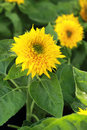 Bright Yellow Sunflowers In Th...