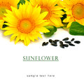 Bright yellow sunflowers and sunflower seeds Royalty Free Stock Photo