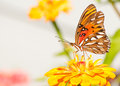 Brightly colored Agraulis vanillae butterfly Stock Photos