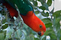 Brightly colored male Australian king-parrot Stock Image