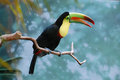 Brightly colored Toucan Royalty Free Stock Photo