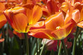 Brightly colored translucent orange tulips Stock Photography