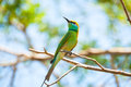 Brightly coloured little bee eater perches on a slender palm branch Royalty Free Stock Photography