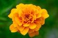 Brightly Yellow Marigold Flowe...