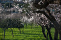 Brilliant almond flowers on green grass and black tree trunks Stock Image
