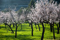 Brilliant almond trees on green grass with black trunks in the mountains of mallorca Stock Photo