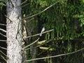 Brilliant Blue Jay Bird on a Branch: A brilliant blue jay bird perch Royalty Free Stock Photo