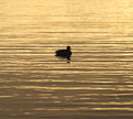 Brilliant golden waters reflecting the sunrise color, bird drift Royalty Free Stock Photo
