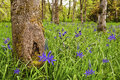 Brilliant green meadow with purple blue camas flowers lush in forest wild all around the trees Stock Photo