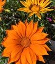 Brilliant orange gazania blossoms Royalty Free Stock Photo