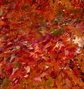 Brilliant orange and green autumn leaves Royalty Free Stock Photo
