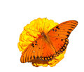 Brilliant orange Gulf Fritillary butterfly Royalty Free Stock Photos