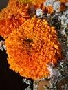 Brilliant orange marigold flowers Royalty Free Stock Photo