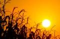 Brilliant orange sunrise over a Corn field Stock Photos