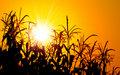 Brilliant orange sunrise over a Corn field Royalty Free Stock Photo